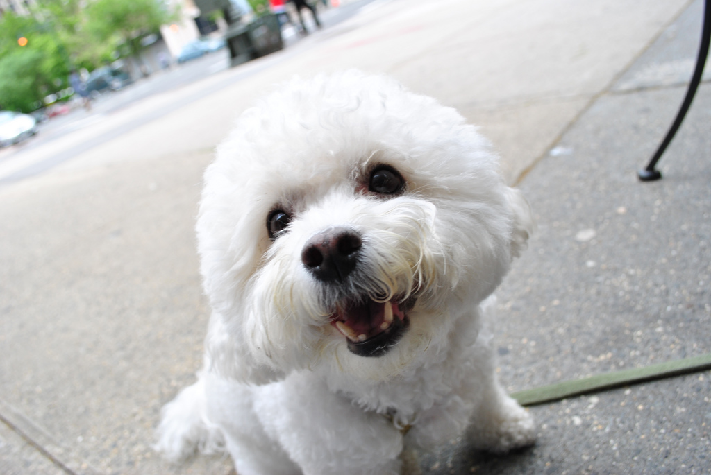 Bichon Frise Dog Breed Information All About Dogs