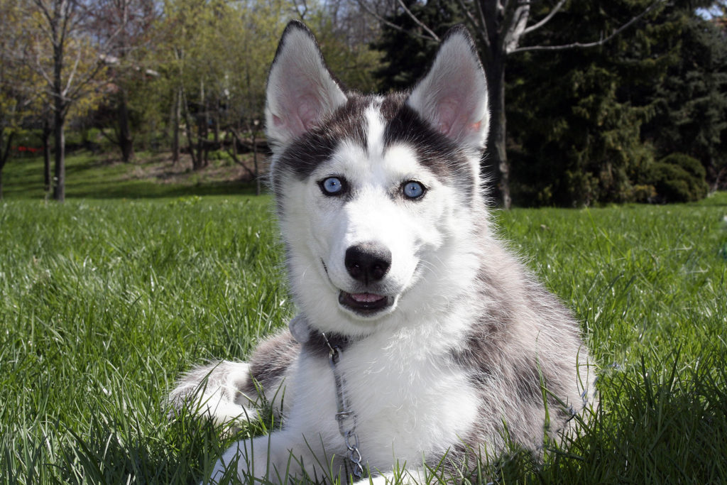 Siberian Husky Dog Breed Information - All About Dogs