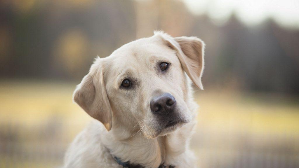 Retriever Labrador Dog Breed Information
