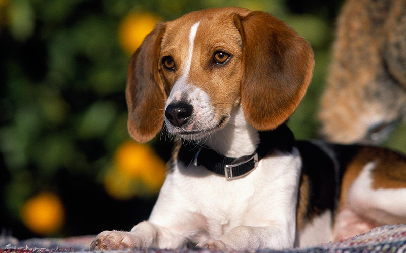 American Foxhound Dog Breed Information  AllAboutDogs.Net