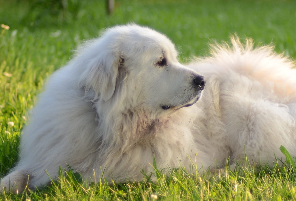 Great Pyrenees Dog Breed Information  All About Dogs