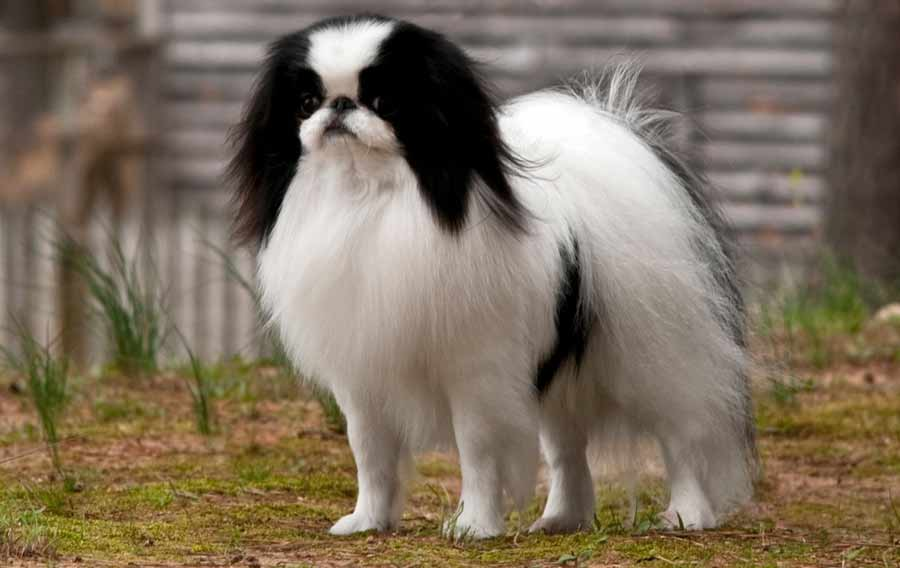 National Dog Show Japanese Chin