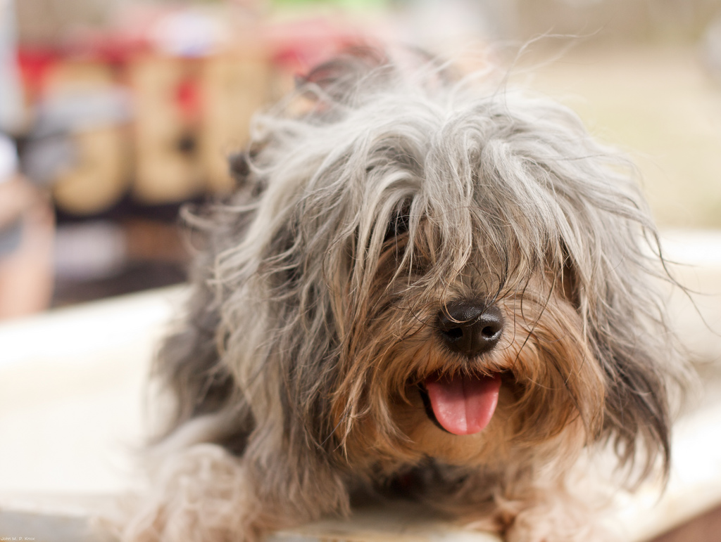 What Is The Most Expensive Small Breed Dog