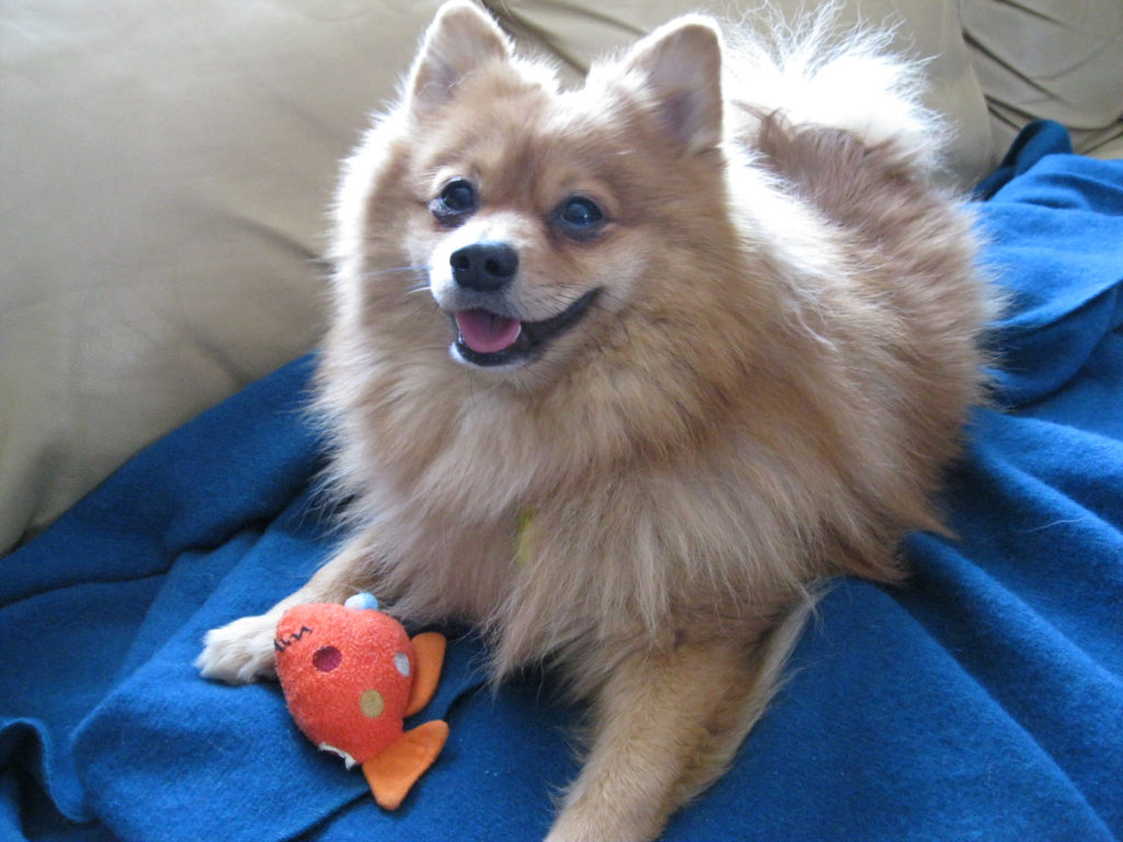 pomeranian intelligence pomeranian dog breed information all about dogs 3389