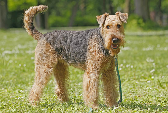 Curly Haired Dogs - All About Dogs