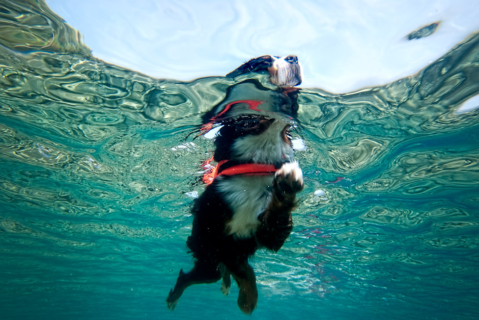 Dog Breeds That Can T Swim