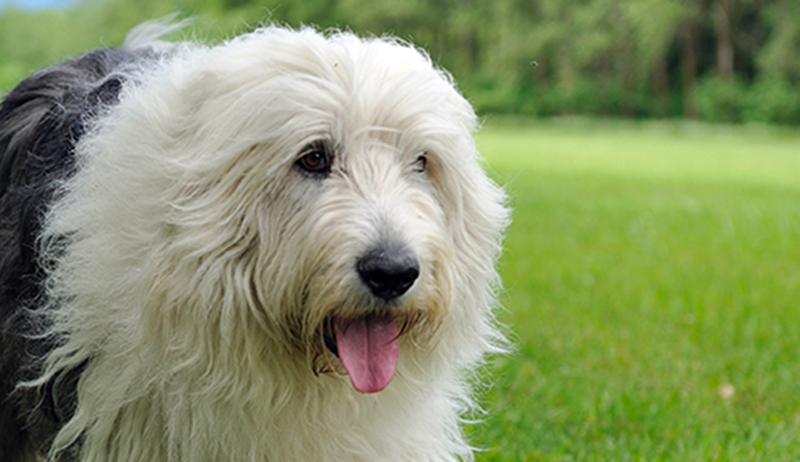 Old English Breeds Of Dogs