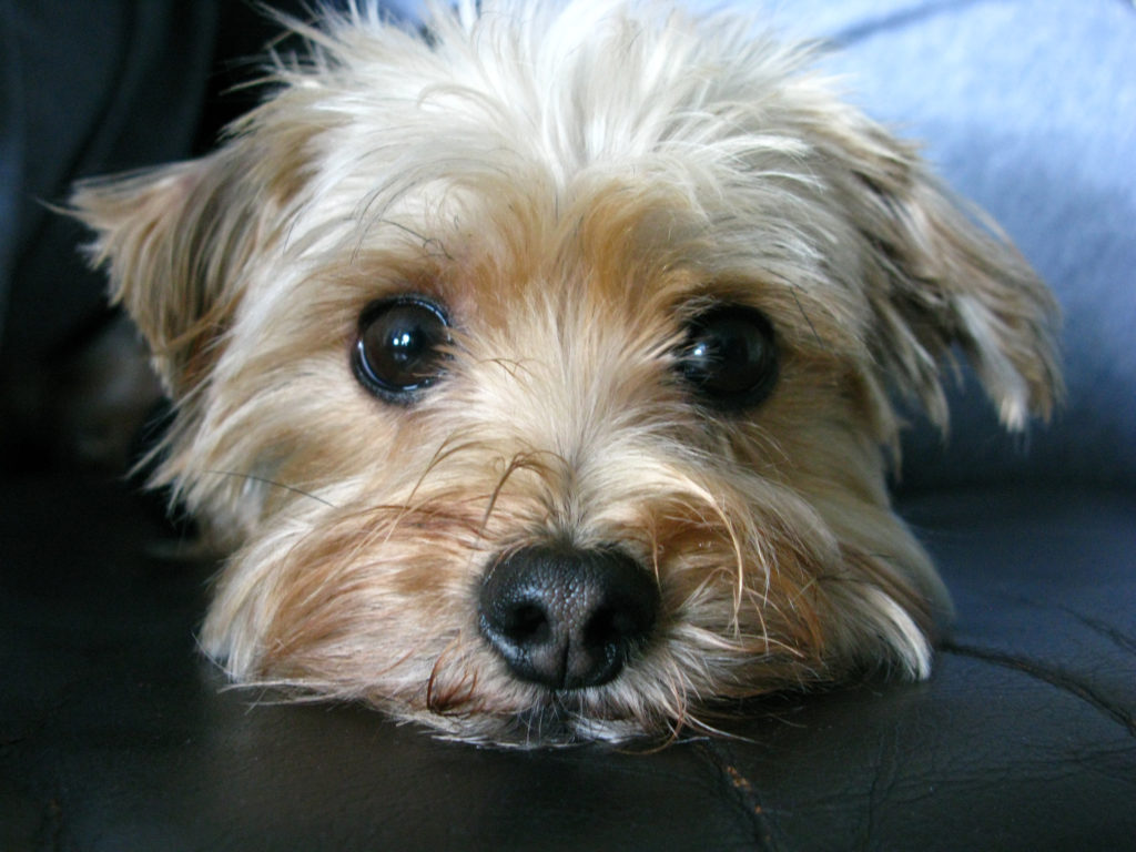 Morkie Designer Dog Information - All About Dogs - photo#20