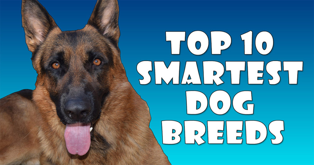 What Breed Of Dog Is Considered The Smartest